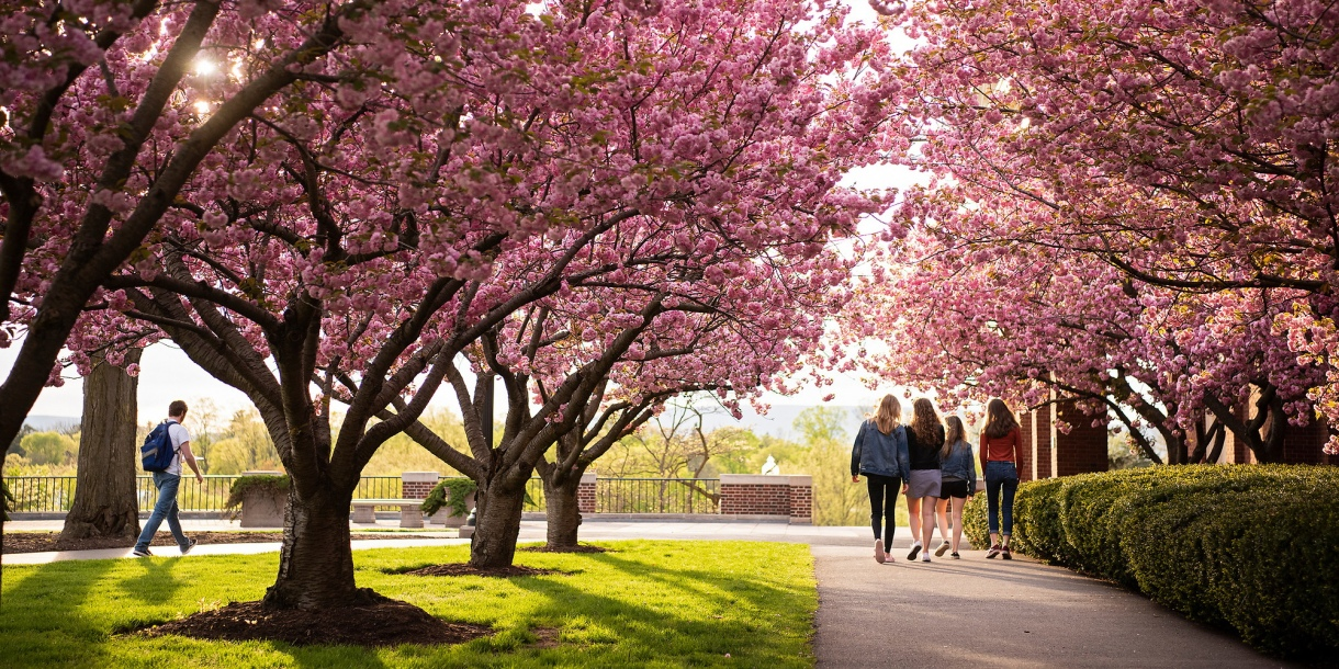 Students walking on Malesardi Quad surrounded by cherry blossoms