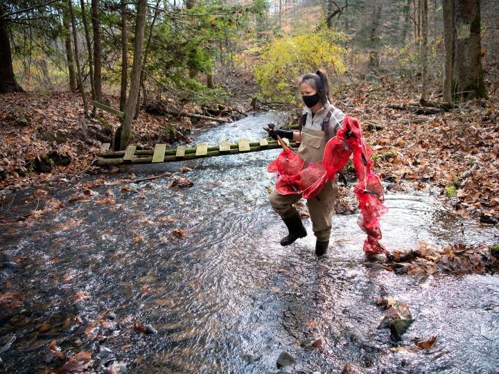 Rebecca Kelly '21 carries leaf packs into stream